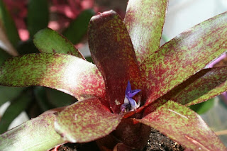 neoregelia red waif
