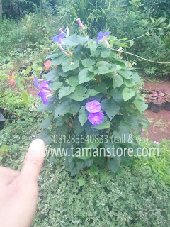jual pohon morning glory bunga ungu