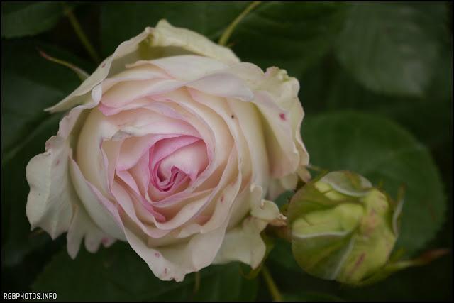 Fotografia di bocciolo di rosa