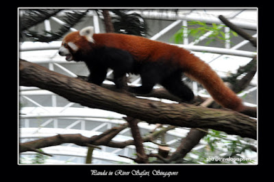 panda merah, red panda, panda, giant panda, giant panda conservation center, giant panda forest, panda river safari singapore zoo, panda zoo negara malaysia, panda chiangmai zoo thailand, panda wwf