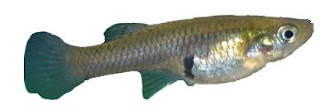 Ikan sisik malik