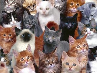 Perbedaan Kucing Anggora dan Persia