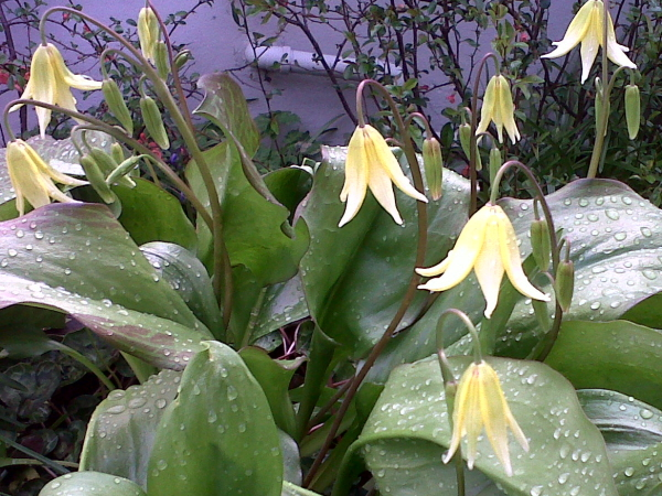 Eythroniums or dogs tooth violets