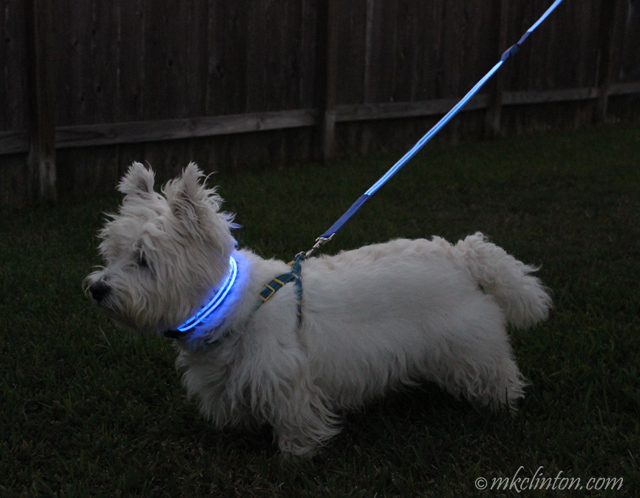 White dog with illumiseen glow in the dark collar and leash