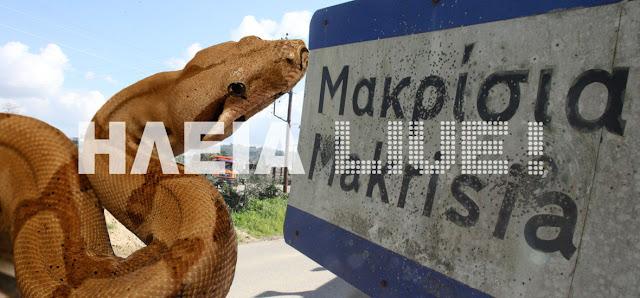 Μακρίσια Ηλείας: Ψάχνουν το μεγάλο φίδι που σκορπά πανικό . . .