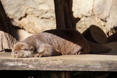 多摩動物公園のコツメカワウソ
