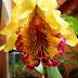 Cattleya Dowiana Aurea