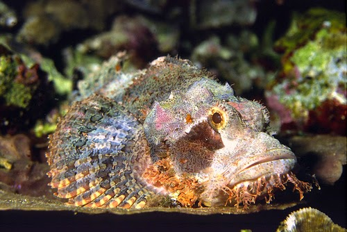 Ikan Batu
