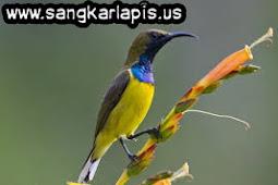 Cara Menangkap Burung Sogok Ontong/Sriganti di Alam Liar