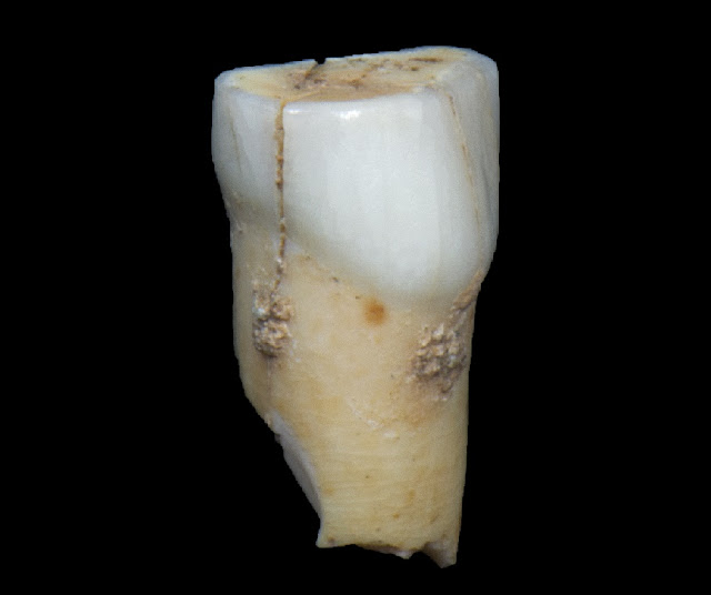 Neanderthal tooth discovered in Gibraltar's Vanguard Cave