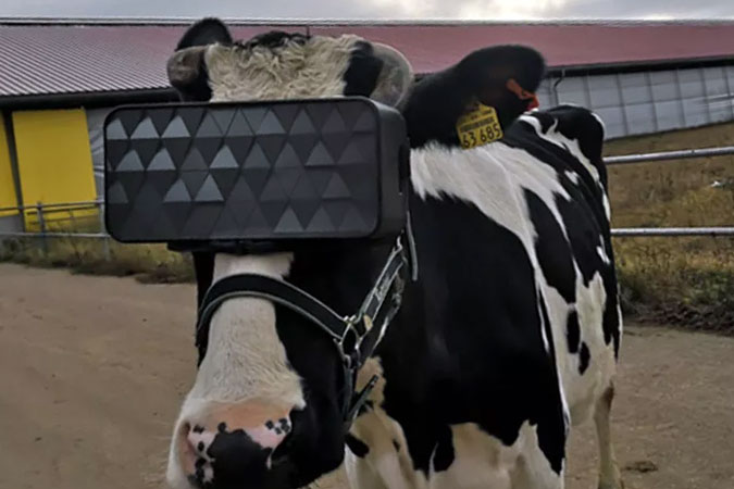 cow using VR