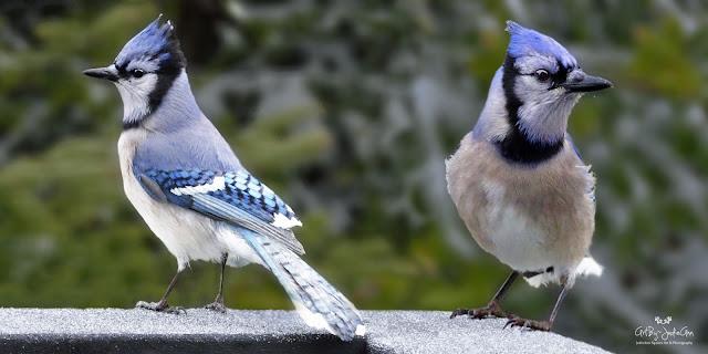 Newfoundland Blue Jays