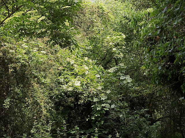 Elderflowers visible amongst confluent bushes and climbers