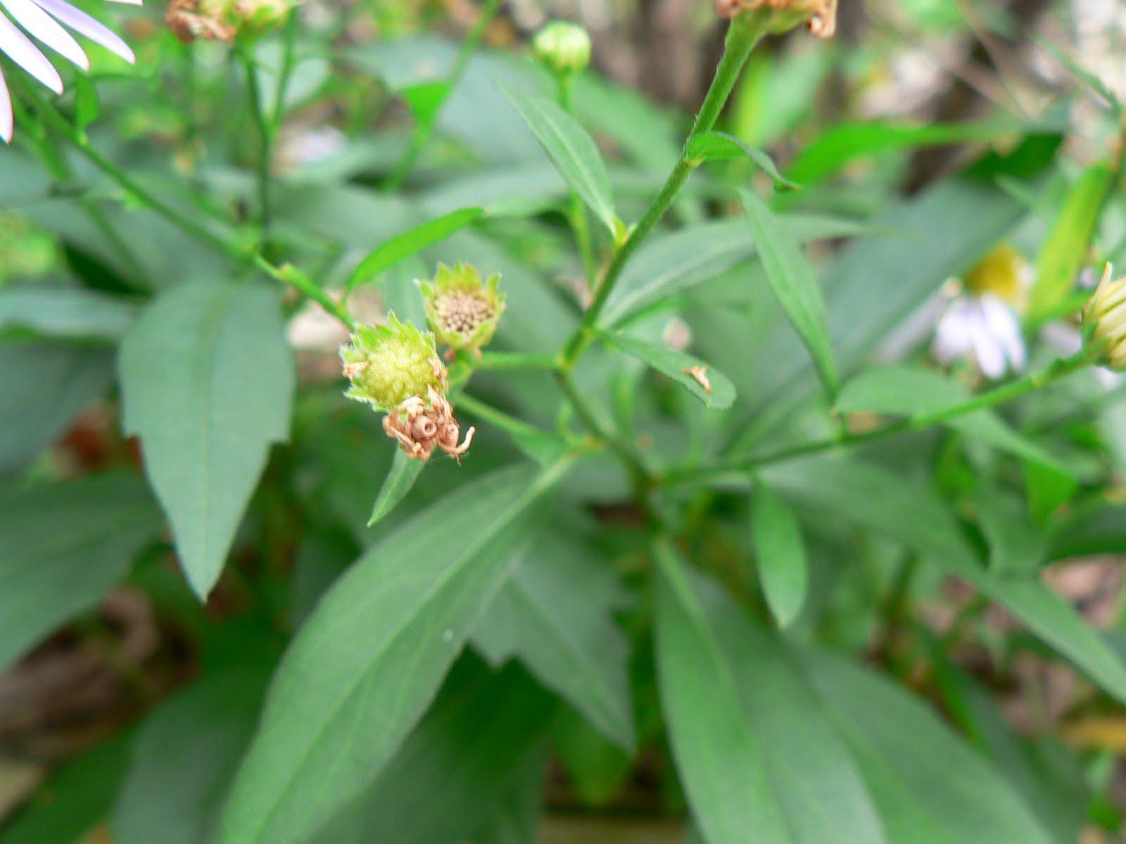 師大附中校園生物資訊網: 野生植物-雙子葉-菊科-雞兒腸