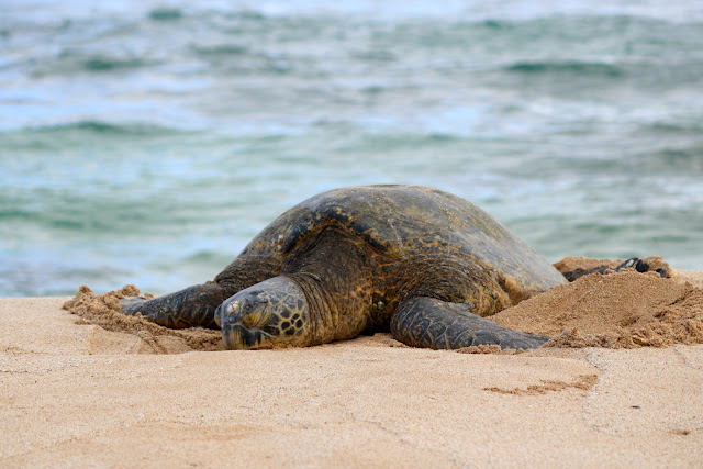 The Best Place to See Turtles on The North Shore, Oahu Hawaii