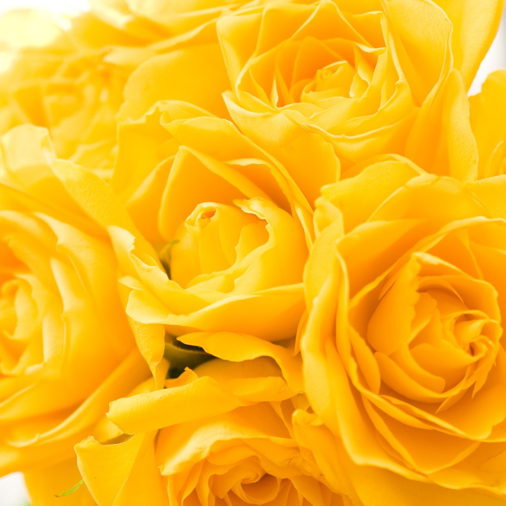 Wallpaper Of Yellow Rose: Free Wallpapers For IPad: Yellow Roses