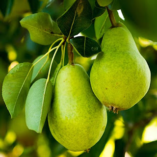 The Amazing Of Health Benefits  Of Green Pears For Women, Men And Kids - Healthy T1ps