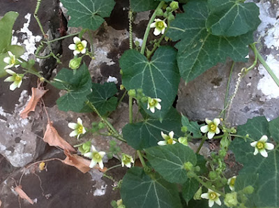 Nueza blanca (Bryonia marmorata o dioica)