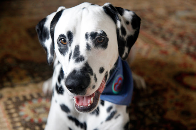 Dalmatian dog wearing a bandana and smiling