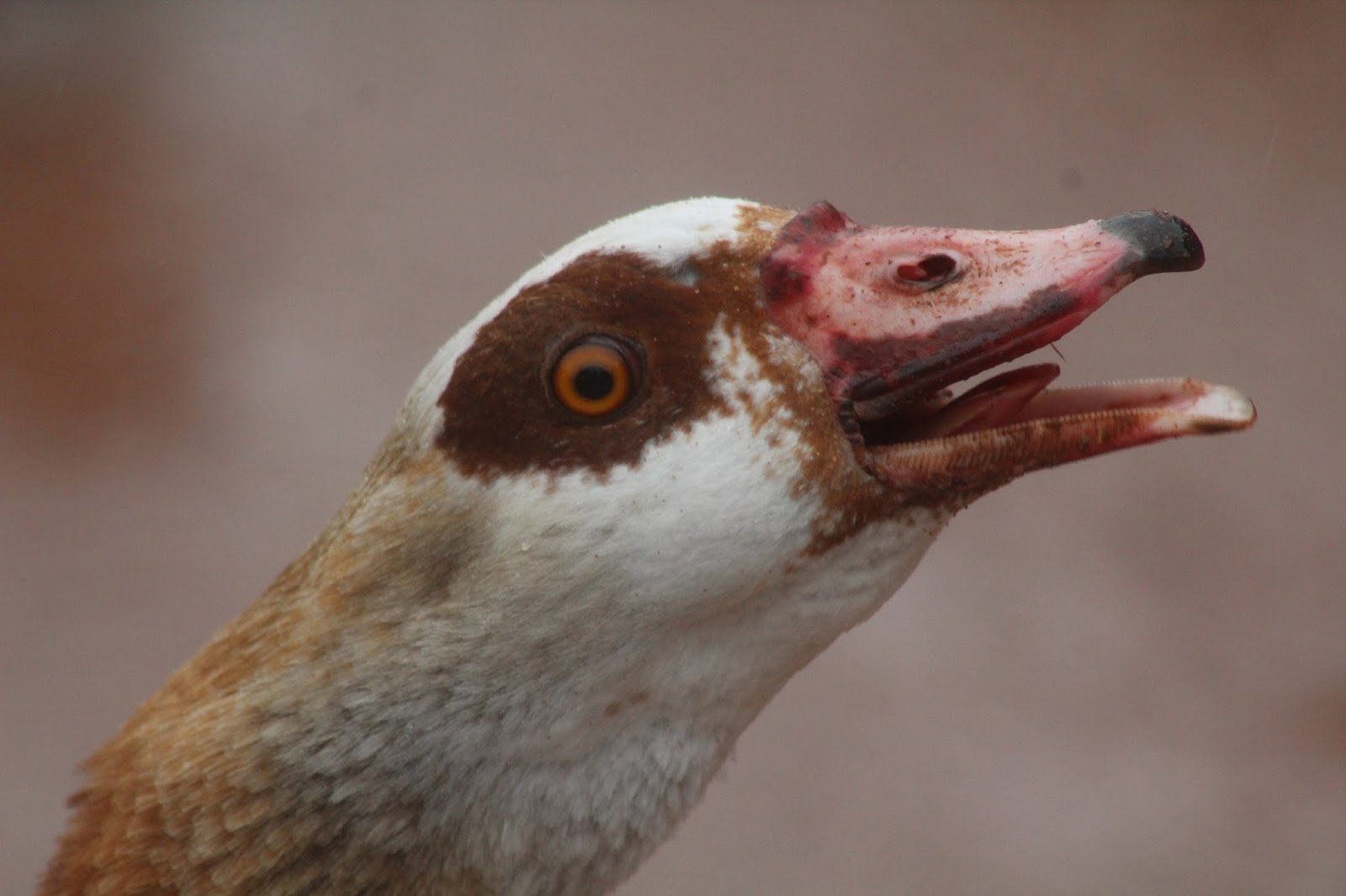 Charismatic Goose