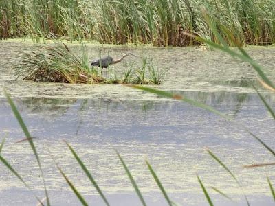 "great blue heron ""fishing"" a Sunrise River pool"