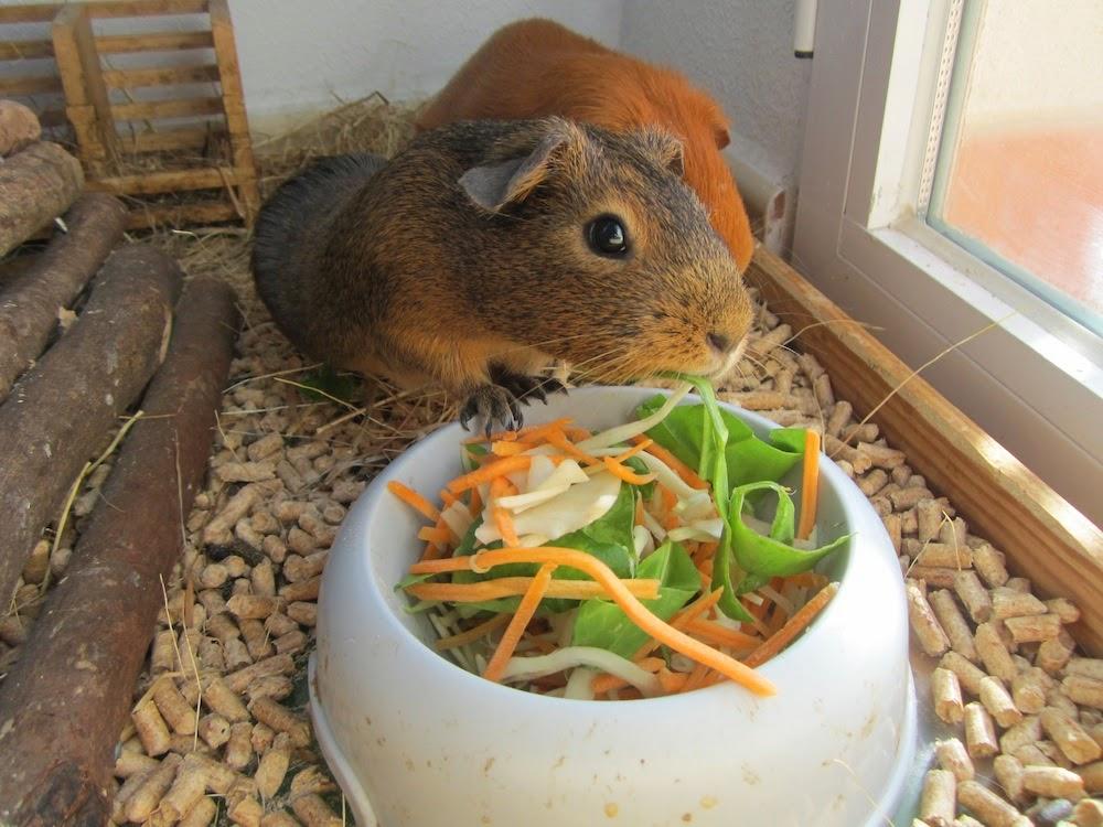 Cobayas a lo loco video de cobayas comiendo ensalada - Informacion de cobayas ...