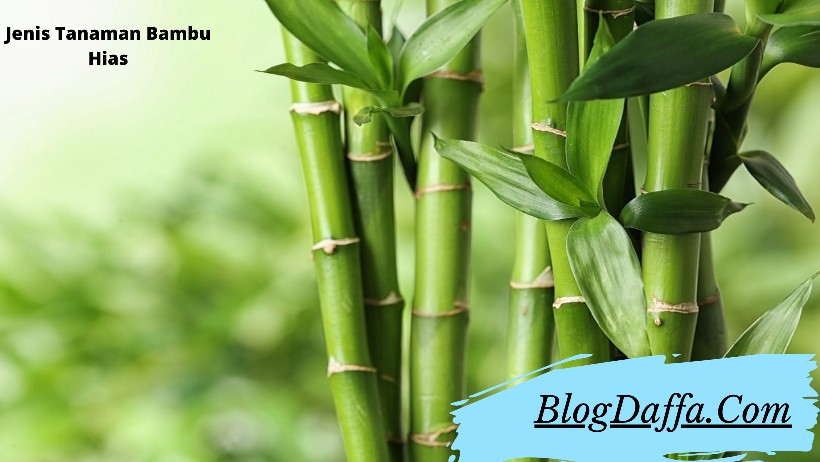 Jenis Bambu Hias untuk Dekorasi Rumah