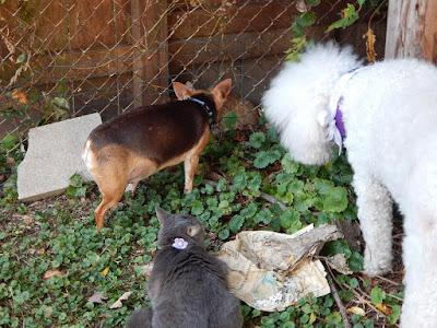 Carma,Scooby and Molly looking at yellow cat