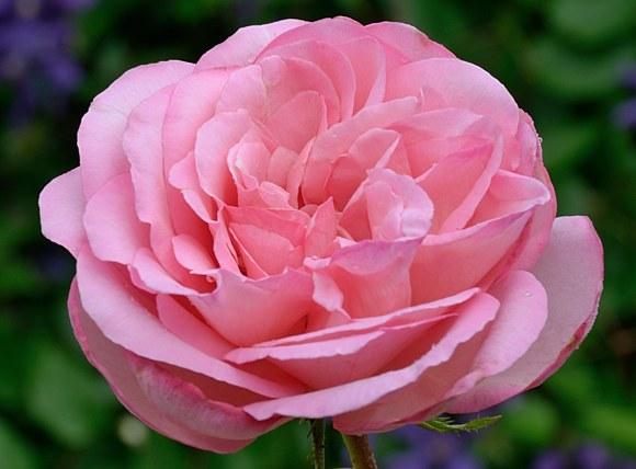 Sweet Parole сорт розы фото купить саженцы Минск
