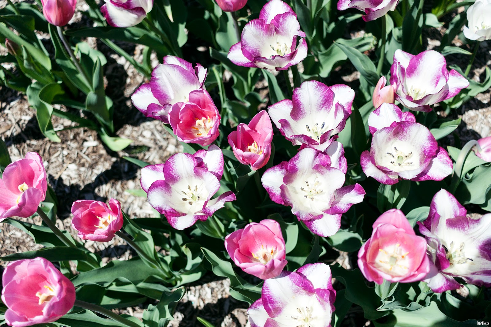 Brooklyn Botanic Garden - Pink and Magenta Tulips