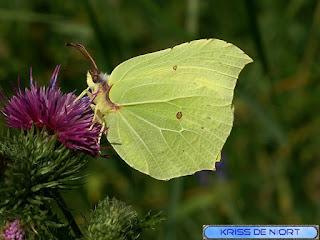 Papillon Citron - Gonepteryx rhamni