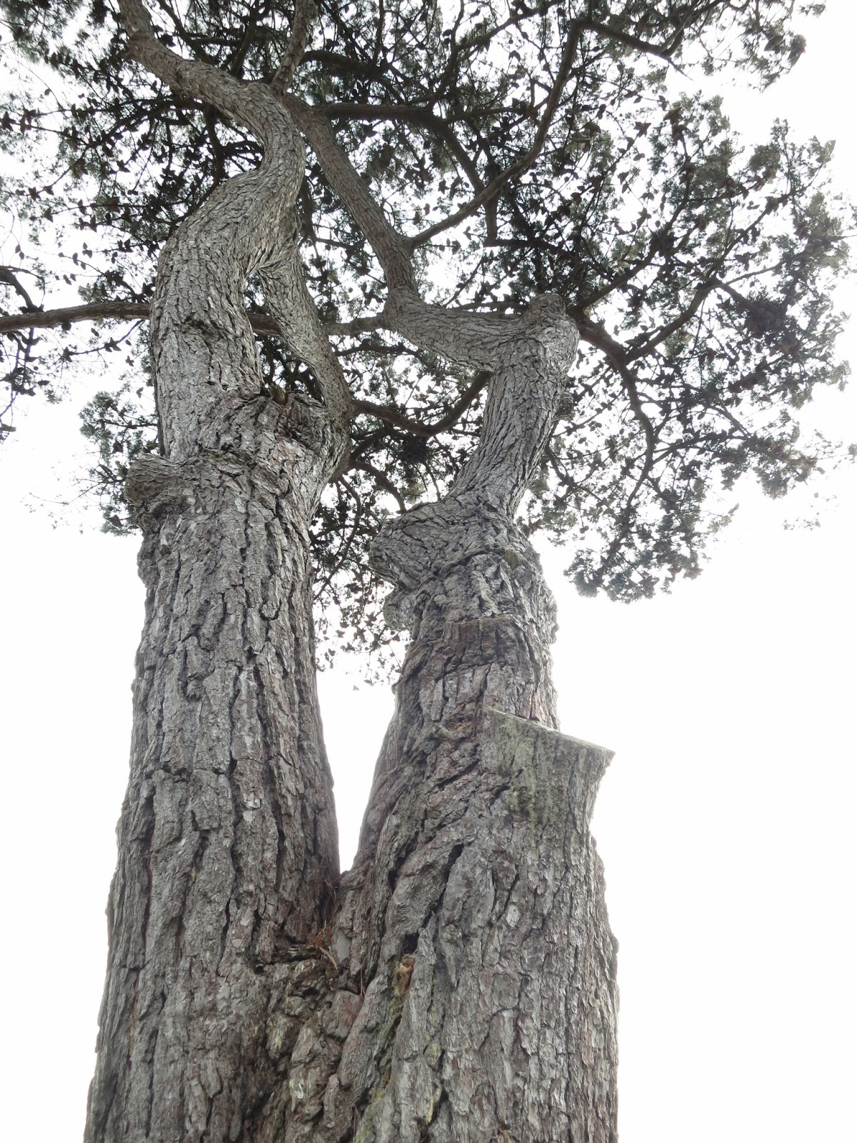 Divided trunk showing where branches have been lopped