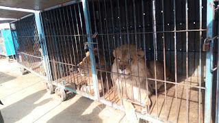 اسود بركة السبع,Birket El Sab Lions,Birket El Sab ,Lions, اخبار بركة السبع,