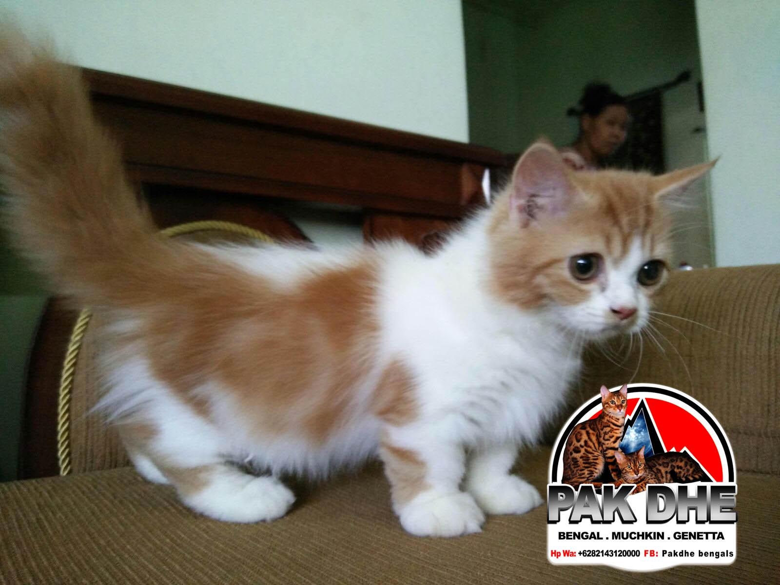 Kucing Persia Kaki Pendek Majalah Cat Dog