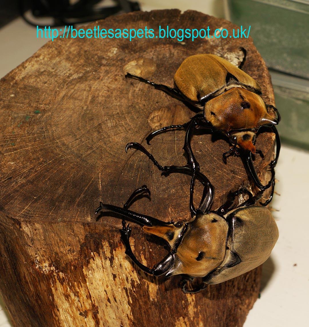 beetles as pets megasoma elephas elephas breeding report care sheet