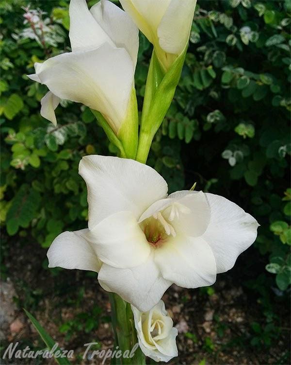 Variedad blanca de una flor del género Gladiolus