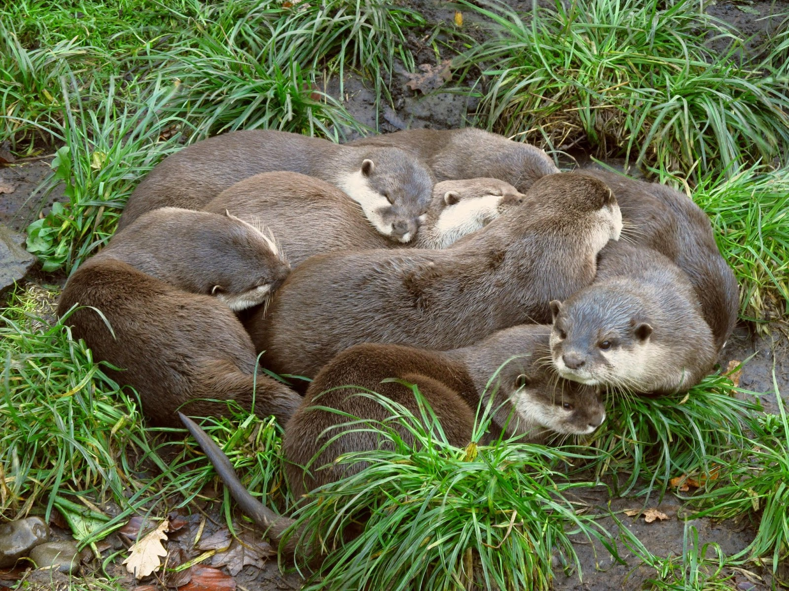 Besides romping around, smooth-coated otters are known to engage in 'group rubbings', partly to clean their furry coats and also to strengthen family bonds.