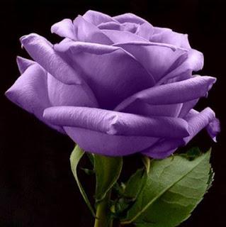 gambar bunga mawar indah 25