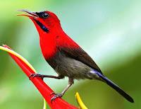 Burung Kolibri Sepah Raja