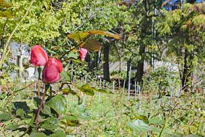 清境普羅旺斯玫瑰莊園