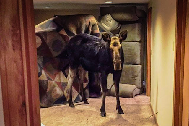 This moose was an uninvited house guest!