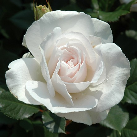 Beautiful Pictures Of White Roses Free Download