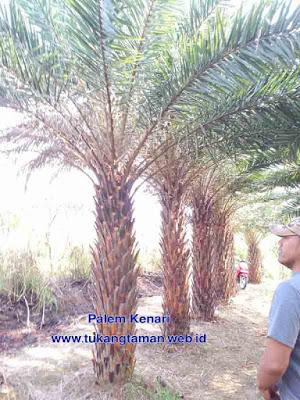 Jual Palem Kenari Silver | Harga Palem Kenari Murah | Phoenix Canariensis