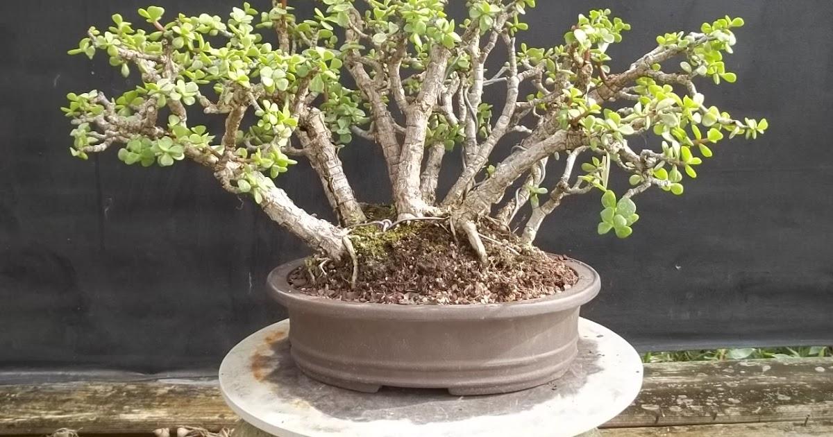 Bonsai Tree 17 Modern Potting Soil For Bonsai Photos