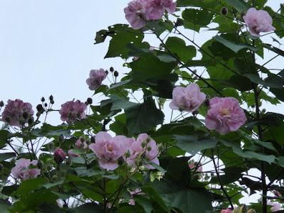 花博記念公園鶴見緑地 八重のフヨウ