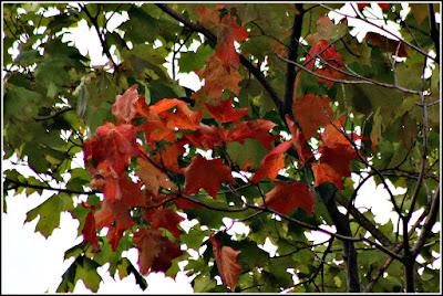 August 28, 2018 Noticing on the drive home that the maple leaves have started to turn colour.