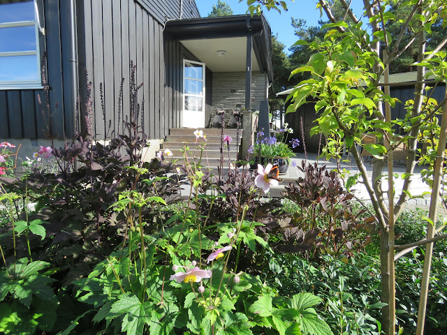 Høstormedrue og Anemone, to flotte  stauder for høsthagen