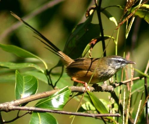 · memiliki alis berwarna putih di bagian atas mata. Burung Perenjak Dan Ciblek (Prinia Familiaris) - Ryan ...