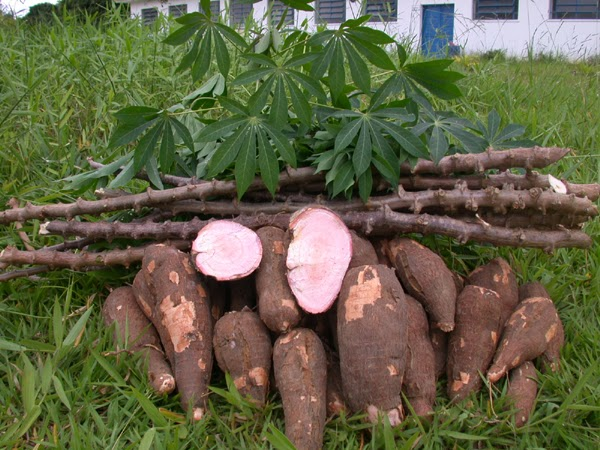 The benefits of Cassava root | Diego Braghi