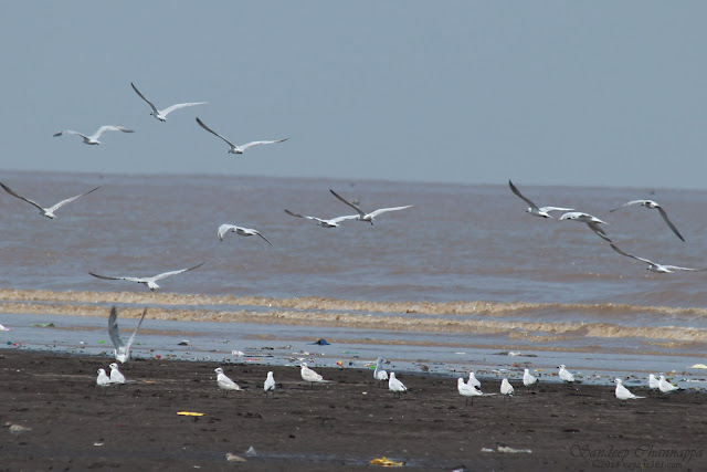 One flock of Gull-Billed Terns flowing away over another flock resting on the grounds